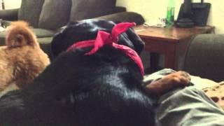 getlinkyoutube.com-Rottweiler, Labradoodle playing not nice!