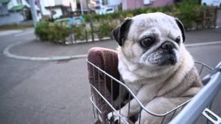 getlinkyoutube.com-パグ、初めての自転車!かごに乗せてみた!Pug