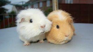 getlinkyoutube.com-Guinea Pigs - A Funny And Cute Guinea Pig Videos Compilation || NEW HD