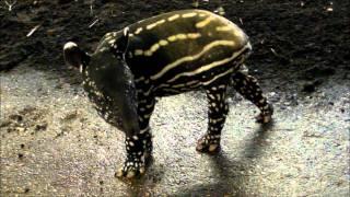 getlinkyoutube.com-Tapir Baby Squeaks. Rare Malayan Tapir Born at Port Lympne.