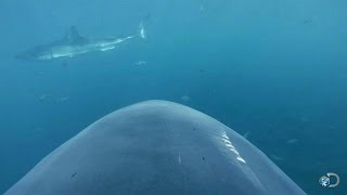 getlinkyoutube.com-Camera Attached to Shark's Fin | Lair of the Mega Shark