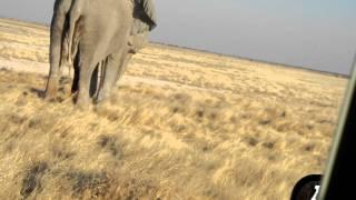 getlinkyoutube.com-Elephant Peeing and an Elephant handshake