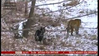 getlinkyoutube.com-Tiger & Goat (Amur and Timur) - BBC World News - 3rd January 2016