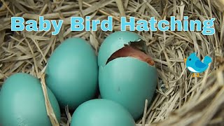 getlinkyoutube.com-Baby Bird Hatching