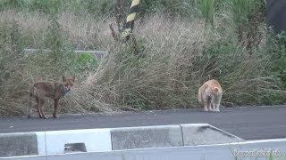 getlinkyoutube.com-野良猫がキツネとバッタリ会ったらこうなった Encounter stray cat, a fox 【野良猫 観察記】