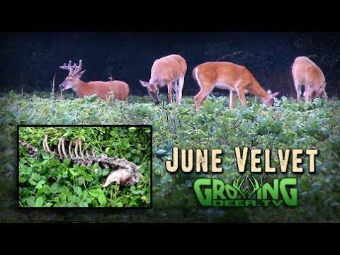 Beautiful Whitetail Bucks In Velvet: Dreams For The Season