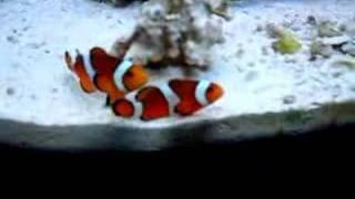 getlinkyoutube.com-Percula clownfish rumble