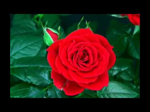 Blooming Rose -6LBODTEgoFg