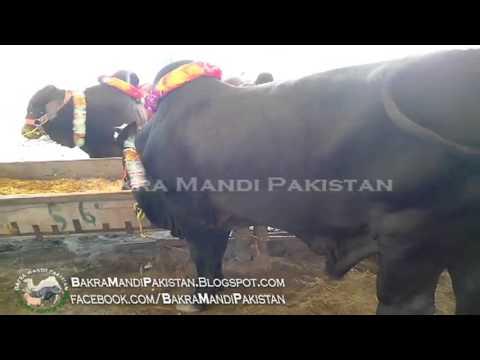 Black Bull Price 250000 in Bakra Mandi Pakistan