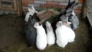 getlinkyoutube.com-Кролики в вольере.avi