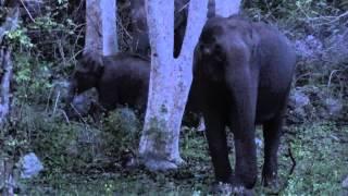 getlinkyoutube.com-ELEPHANT ATTACK at BANDIPUR NATIONAL PARK.