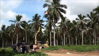 Coconut palm climbing with a hydraulic elevator in Brazil