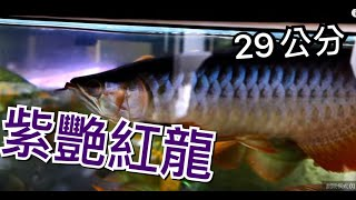 getlinkyoutube.com-代友售~紫豔紅龍 29cm,發色準備開始 明碼價:18000