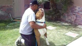 getlinkyoutube.com-pibull biggest pit ever thanks billy and chalo  the famos king ligerj