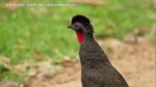 getlinkyoutube.com-Jacupemba - Rusty-margined Guan (Penelope superciliaris)