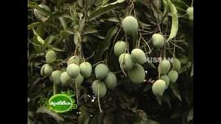 getlinkyoutube.com-Commercial Mango cultivation by  group of farmers in Palakkad district