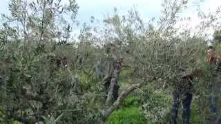 getlinkyoutube.com-Κιβωτός Σπόρων - Παραγωγικά κλαδέματα ελαιοδέντρων