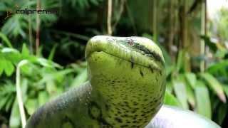 getlinkyoutube.com-La serpiente más grande del mundo ya está en Colombia