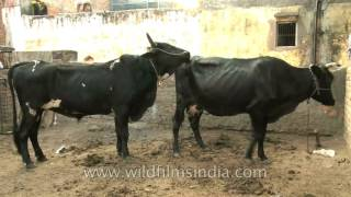 getlinkyoutube.com-Veterinary video : Bull and cow mating - Oh, no, not again!
