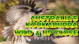getlinkyoutube.com-Kookaburra -Wild & Up Close