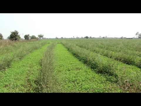 Suggest Potential Medicinal Crop after Sarson: Pankaj Oudhia's interactions with Herb Growers-26