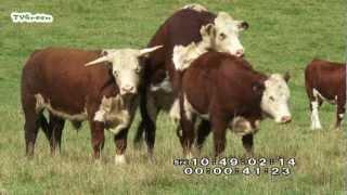 getlinkyoutube.com-LibraryLook: Hereford cattle and Veluwe heath sheep