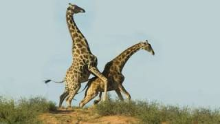 getlinkyoutube.com-Giraffe Sex: A Terrifying Introduction to Nature at Work (and Play)