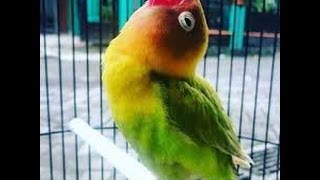 INI DIA LOVE BIRD JUARA NASIONAL CEREWET NGEKEK PANJANG