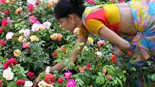 Techniques in Rose Farming | Paadi Pantalu
