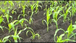 getlinkyoutube.com-Мотоблок Зубр НТ 105.  Окучивание кукурузы лучевой картофелекопалкой