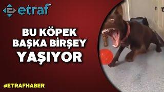 Topu yakalamak isteyen köpeğin çabası  - ETRAF HABER