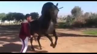 getlinkyoutube.com-Tbourida maroc Tadla-Azilal 2016