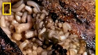 getlinkyoutube.com-Maggot Medicine | National Geographic