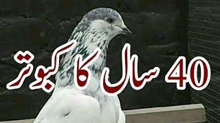Jafar Kamaal k some main breeder males  Daska sailkolt Pakistan kabootar