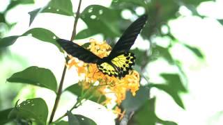 ヘレナキシタアゲハの飛翔 Yellow Birdwing in flight Super slow 700fps