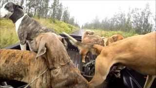 getlinkyoutube.com-(GRAPHIC) Hawaii Boar Hunting with Knife and Dogs - GoPro
