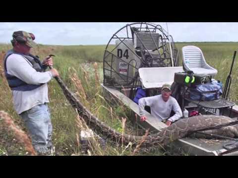 Hallan en Florida una pitón birmana de 5,6 metros que gestaba 87 huevos
