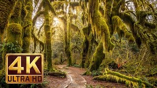 getlinkyoutube.com-4K, Hoh Rain Forest - Nature Relaxation Video