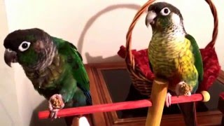 getlinkyoutube.com-This is how I tamed my green cheek conures.