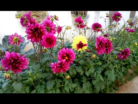 Dahlia plants life cycle