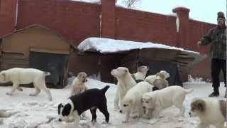 getlinkyoutube.com-Щенки среднеазиатской овчарки - алабай
