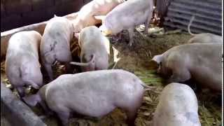 getlinkyoutube.com-Baboyang wala amoy...p.I.g.s... 3 months old pigs on july 2 2015