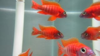 getlinkyoutube.com-How To Breed African Cichlids
