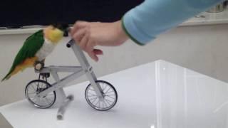 getlinkyoutube.com-Caique - Riding bicycle (under training)