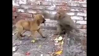 getlinkyoutube.com-Monkey fighting with dog and funny too