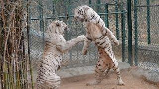 getlinkyoutube.com-DO NOT Make White Tiger Angry - EVER !!