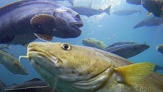 getlinkyoutube.com-North Atlantic fish species Ryby norweskich wód  Part I / Część I