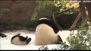 getlinkyoutube.com-Baby panda gets silly in the snow