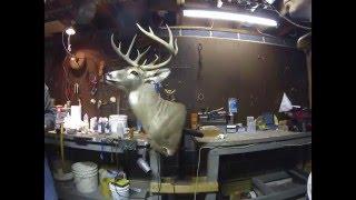 getlinkyoutube.com-Taxidermy Deer Head Time Lapse