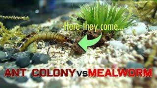 getlinkyoutube.com-Ant Colony vs Mealworm
